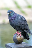 Pombo urbano selvagem bagunçado que senta-se em uma bola de bronze Foto de Stock Royalty Free