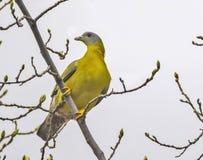 pombo verde Amarelo-footed foto de stock royalty free