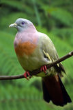 pombo verde Cor-de-rosa-necked imagem de stock royalty free