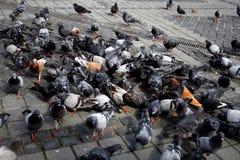 Pombos Imagem de Stock