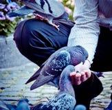 pombos foto de stock