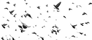 pombos Imagens de Stock