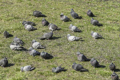 pombos Imagem de Stock Royalty Free