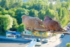 Pombos agradáveis Foto de Stock