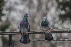 pombos fotografia de stock