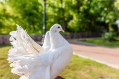 Pombos brancos Foto de Stock Royalty Free
