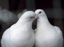 Pombos brancos no beijo do amor Imagem de Stock Royalty Free