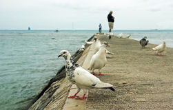 Pombos brancos no cais Fotos de Stock Royalty Free