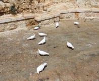 Pombos brancos O março Saba Monastery, Laura de nosso pai santamente Sabbas foto de stock