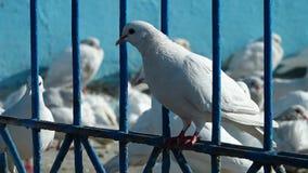 Pombos brancos que estão em uma cerca vídeos de arquivo