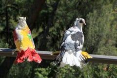 Pombos coloridos bonitos no parque Fotografia de Stock Royalty Free