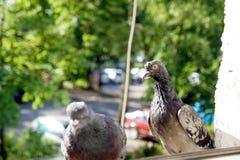 Pombos curiosos que deslizam através da janela à procura do alimento Fotografia de Stock