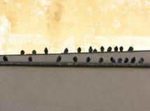 Pombos da cidade Fotografia de Stock