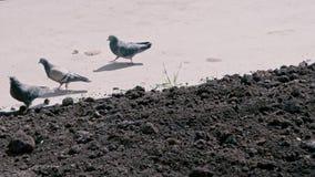 Pombos da cidade que alimentam no solo desencapado do canteiro de flores na mola adiantada filme