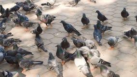 Pombos da cidade que andam em uma laje do pavimento no verão Os pigeones bonitos fecham-se acima, vida urbana da pomba video estoque