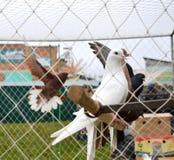 Pombos da criação de animais na gaiola no mercado do animal de estimação Fotografia de Stock Royalty Free