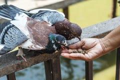 Pombos de alimentação Imagem de Stock
