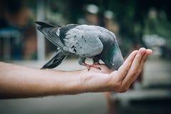 Pombos de alimentação do homem novo no parque da cidade fotografia de stock royalty free