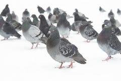 Pombos de direção Foto de Stock
