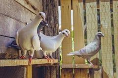 Pombos de direção na capoeira de madeira Fotos de Stock Royalty Free
