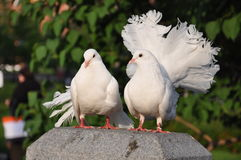 Pombos de portador brancos Fotografia de Stock