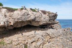 Pombos de rocha do assentamento Fotos de Stock