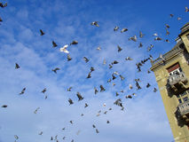 Pombos do vôo Imagem de Stock