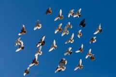 Pombos do voo Imagens de Stock