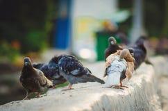 Pombos dos pássaros da cidade na rua foto de stock royalty free