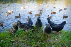 Pombos e patos Imagens de Stock Royalty Free