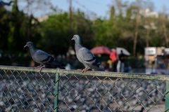 Pombos e pombas fotografia de stock royalty free