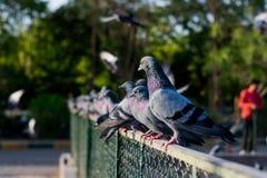 Pombos e pombas foto de stock