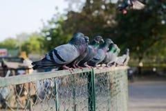 Pombos e pombas fotografia de stock