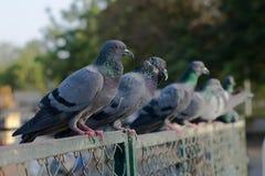 Pombos e pombas imagem de stock