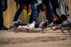 Pombos e seres humanos em horas de ponta na cidade Imagem de Stock
