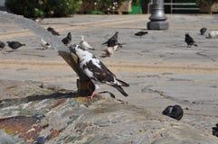 Pombos em Chipre Fotos de Stock