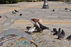 Pombos em Chipre Imagem de Stock Royalty Free