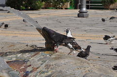 Pombos em Chipre Imagens de Stock
