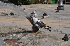 Pombos em Chipre Fotografia de Stock