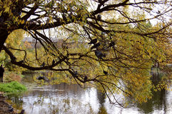 Pombos em filiais Fotografia de Stock