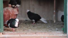 Pombos em pigeonry vídeos de arquivo