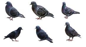 Pombos em poses diferentes isolados no fundo branco Foto de Stock
