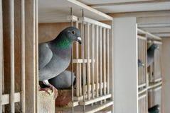 Pombos em um dovecot Imagem de Stock Royalty Free