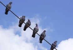 Pombos em um fio Imagens de Stock Royalty Free