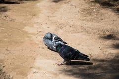 Pombos em um passeio Fotos de Stock Royalty Free