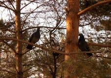 Pombos em um pinho Imagens de Stock