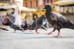Pombos em uma cidade Imagens de Stock