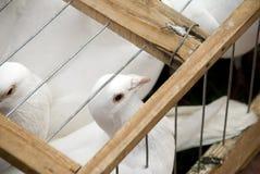 Pombos em uma gaiola Imagens de Stock