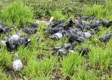 Pombos em uma grama Fotografia de Stock