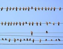 Pombos empoleirados em fios Fotografia de Stock Royalty Free